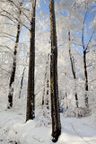 Hard rime in forest Stock Images