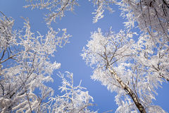 Hard rime in forest Royalty Free Stock Image