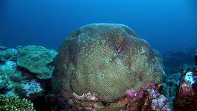 Hard round coral brain in form of ball underwater amazing seabed in Maldives. stock video