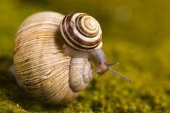Hard shell of snail Royalty Free Stock Photography