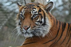 Hard stare tiger. Hard stare of the tiger at London Zoo Stock Images
