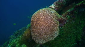 Hard Stony corals  and colorful fish in blue sea stock video