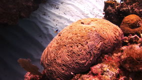 Hard stony corals on the seabed. In Bahamas. Amazing, beautiful underwater world Bahamas and the life of its inhabitants, creatures and diving, travels with stock footage