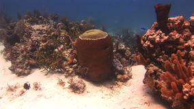 Hard stony corals on the seabed. In Bahamas. Amazing, beautiful underwater world Bahamas and the life of its inhabitants, creatures and diving, travels with stock video footage
