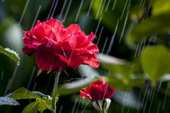 A Hard Summer Rain in The Garden. Just a summer rain and the red roses royalty free stock photography