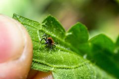 Hard tick Ixodes ricinus ectoparasite external parasite on a green leaf goes to an finger. In spring macro close up stock photography