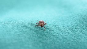 Hard tick lies on its back upside down, turns over, and crawls stock video footage