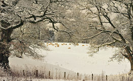 Hard winter grazing, Moffat, Scotland Royalty Free Stock Images