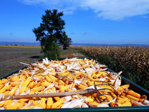 Hard work. Corn harvest crop load full rich ripe plenty much growth yield income pick conceptual Royalty Free Stock Image