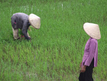 Hard work on rice fields Royalty Free Stock Images