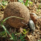 Hard work success earned. A dung beetle rolling a perfect round ball made by animal dung which is many times bigger and heavier then itself Stock Images