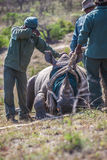 Hard work to save rhinos Stock Photos