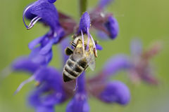 Hard-working bee. Diligent bee on small blue flowers stock photography