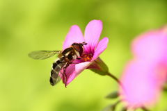 Hard-working bee Stock Images