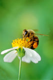 Hard working bee Royalty Free Stock Image