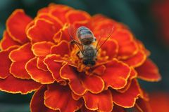 Hard-working bee collects nectar on a bright orange marigold flower in the summer garden. Bee collects nectar from a bright orange marigold flower in the summer Royalty Free Stock Images