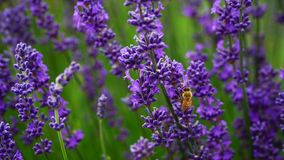 Hard-working bee in Lavender farm, New Zealand stock images