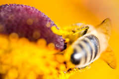 Hard working bee pollinates flower in extreme macro Royalty Free Stock Images