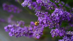 Hard-working bee in Lavender farm, New Zealand royalty free stock photos