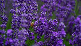 Hard-working bee in Lavender farm, New Zealand royalty free stock photo