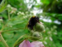 Hard-working bumblebee collects nectar stock photo