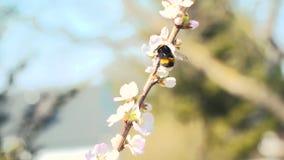 Hard-working bumblebee flies from bloom to bloom. Small hard-working bumblebee flies from bloom to bloom stock video footage
