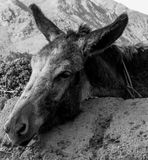 Hard-working donkey Stock Photography
