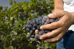 Hard working hands holding grapes Royalty Free Stock Photos
