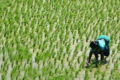 Hard working lady on a rice field. under hard sun. Stock Photography