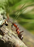 Hard-working red ant Stock Photo