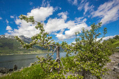 Hardanger海湾背景的花园 免版税库存图片