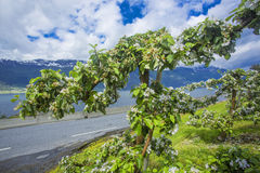 Hardanger fjord wewnątrz może, Norwegia Obrazy Stock
