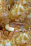 Harde koraal uiterst kleine kleurrijke krab Stock Foto
