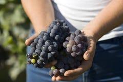 Harde werkende handen die druiven houden Stock Afbeelding
