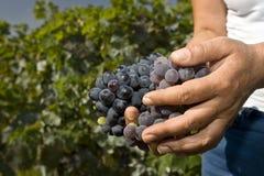 Harde werkende handen die druiven houden Royalty-vrije Stock Foto's