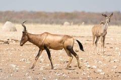 Hardebeest rouge dans le désert Images libres de droits