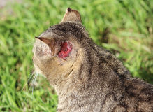hardened homeless cat reed color with injuries to the ear and scabies otoacariasis typical scratching behind the ears. Royalty Free Stock Photo