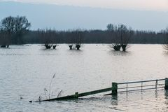 Hardinxveld,荷兰- 2018-01-14:门和角被割下的动物杨柳在河Boven Merwede洪泛区  免版税库存图片