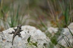Hardun del lagarto en una roca Imagenes de archivo