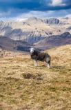 Hardwick-Schafe in der Cumbrian-Landschaft Lizenzfreie Stockfotos