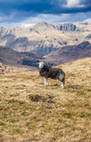 Hardwick sheep in the Cumbrian landscape. Looking towards the Langdales Cumbria England Royalty Free Stock Photos
