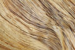 Hardwood Background and Texture - Curve of Detail, Contours and Color. A close-up view of exposed wood from a False Camel Thorn tree, as seen in the wilds of Royalty Free Stock Images