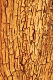 Hardwood Background and Texture - Golden Cracks of Contours and Color. A close-up view of bark on a Camel Thorn tree, as seen in the wilds of Africa.  This image Stock Photos