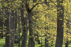 Hardwood forest Stock Images