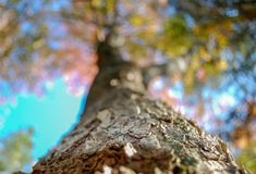 A hardwood tree is pictured with many fall colors in view royalty free stock image