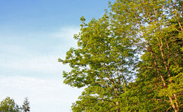 Hardwood trees. A stand of hardwood at the edge of a forest Stock Photography