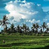 Hardwork zwischen Reisfeldern lizenzfreies stockbild
