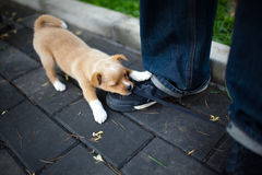 Hardworking. A puppy is trying hard to unfasten a shoelace Stock Image