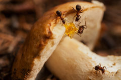 Hardworking ants work with mushroom. Teamwork Royalty Free Stock Photos
