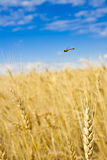 Hardworking bee. Over a wheaten field in a sunny day Royalty Free Stock Photo